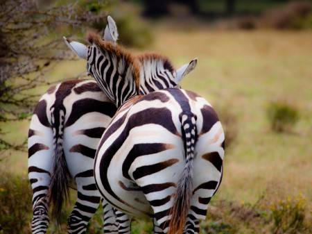 Safari en Tanzanie, couple de zèbre