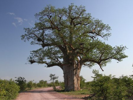 Safari en Afrique du Sud. Parc National Mapungubwe